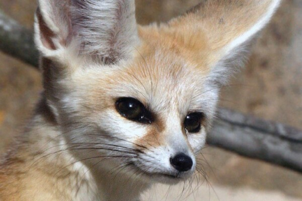 Mali the fennec fox